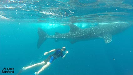 featured-swimming-with-whale-sharks425
